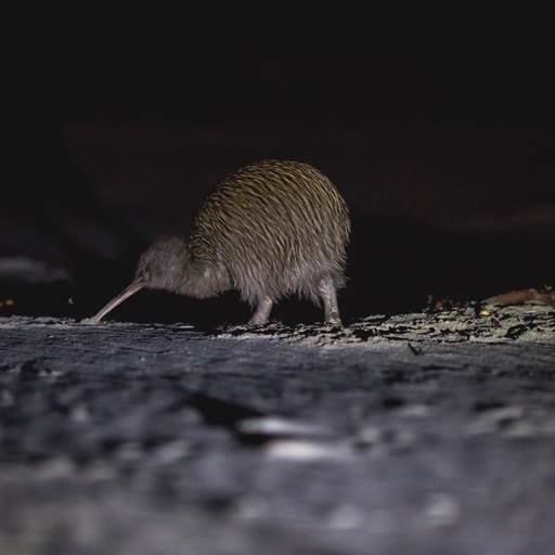 Stewart Island - Wild Kiwi Encounter